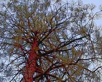Pine with Red Trunk Detail