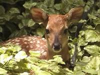 Fawn Undercover