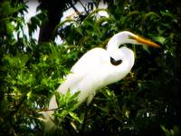 louisiana egret