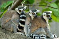 Ring-tailed lemurs 1