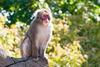 Japanese macaque 1