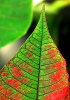 green red leaf