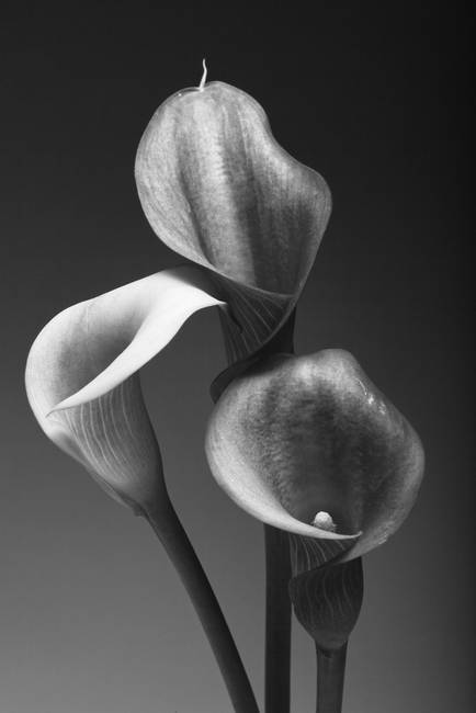 Three Pink Calla Lilies In Black And White By George Oze 2010