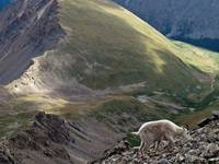 Scene with Mountain Goat