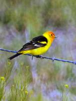 western tanager glenwood utah fence 5