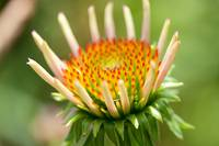 Emerging coneflower