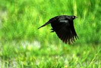 Brewers Blackbird flying from grass and water