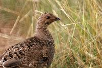Blue Grouse possibly