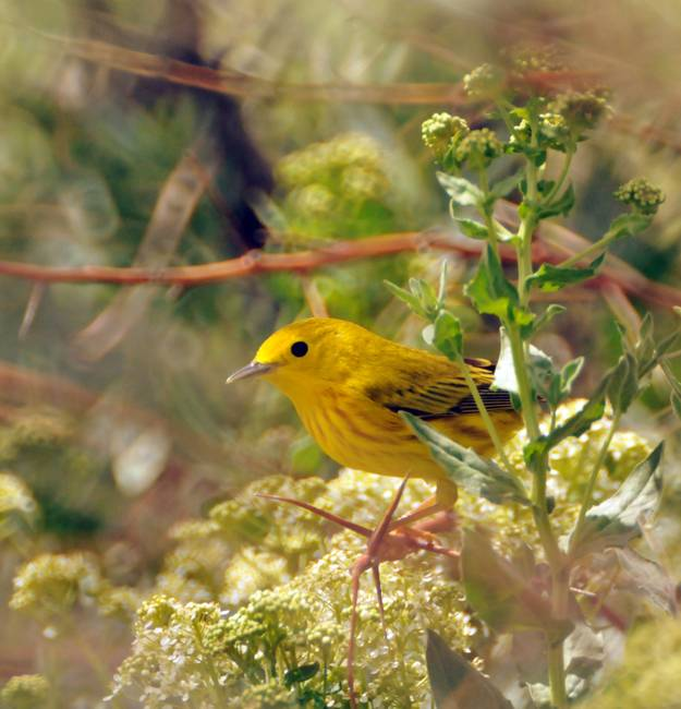 yellow warbler on a tree russian olive
