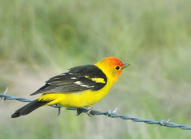western tanager on wire near glenwood Utah 3