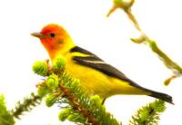 western tanager sharper 3
