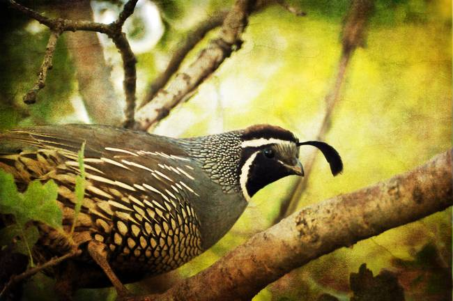California Quail in an Oak Tree layer