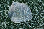 Ice covered leaf,  lying on frozen grass