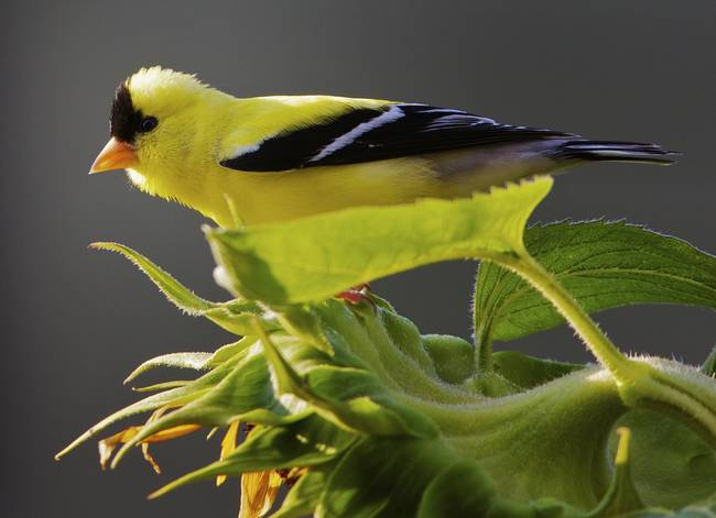 American Golfinch on Sunflower by Jim Crotty