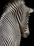 Zebra on Black