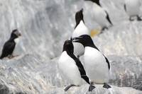 Romantic razorbills