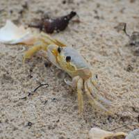 Ghost crab Art Prints & Posters by Harley Sousa