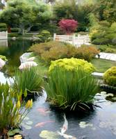 Japanese Garden Pond with Koi