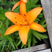 Day Lilly in a raised bed