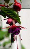 Fuschia Dollar Princess