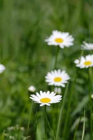 Daisies (IMG_0284)