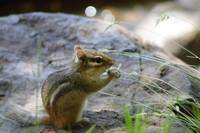 Chipmunk (IMG_0615a) by Jeff VanDyke