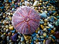 Sea Urchin on a Pebble Beach