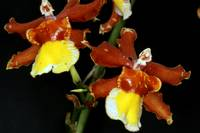 ONCIDIUM LIMMINGHEI