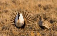 Greater Sage-Grouse I
