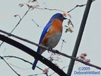 Bluebird on the Wire