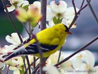 Goldfinch and dogwood blossoms