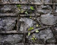 Stone wall Ivy