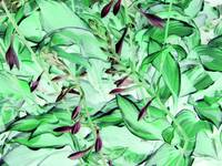 Hosta in Shades of Green