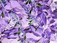 Hosta Shades of Purple
