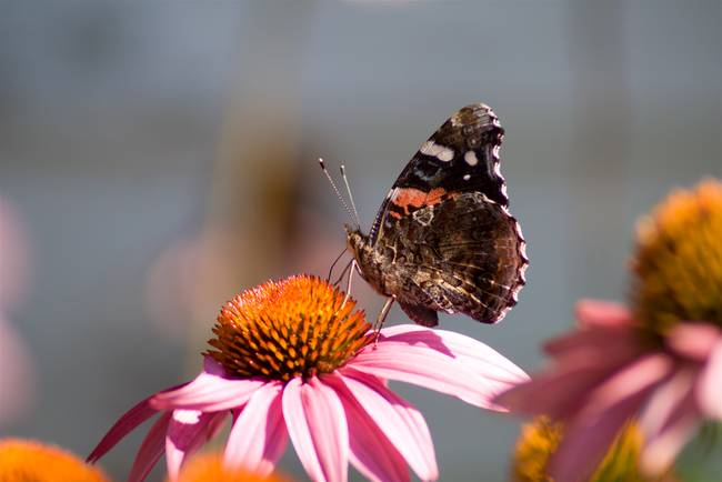 Red Admiral (IMG_0701)