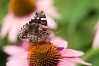 Red Admiral (IMG_0708) by Jeff VanDyke