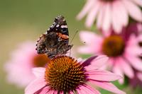 Red Admiral (IMG_0715) by Jeff VanDyke