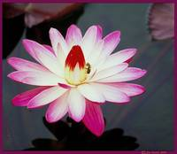 Lotus, Peace and Harmony