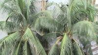 Twin coconut tree