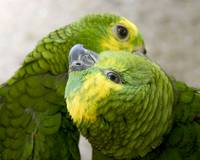 Parrot Preening Love (Two Blue-fronted Amazon Parr