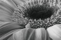 Gerber Daisy 1 by David Kocherhans