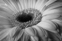 Gerber Daisy 3 by David Kocherhans