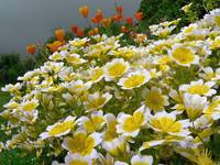 poached egg plant and poppies