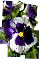 Pansy After the Rain #2
