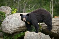 American Black Bear in Blue Ridge Mountains