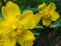Yellow flowers in the rain