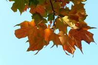 orange leaves against blue sky