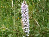 Spotted Orchid 4