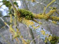 Lichens on elder