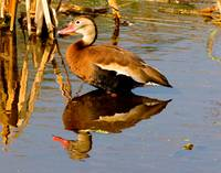 Blackbelly Whistling Duck #5